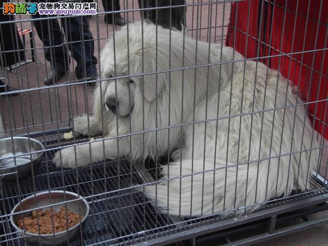 纯种大白熊 2到3个月大白熊犬 品质血统保证