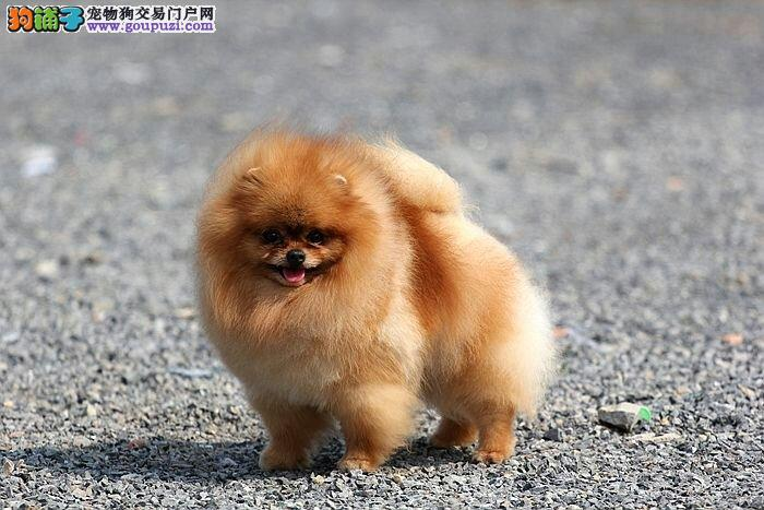 纯种球体博美犬哈多丽纯种博美犬