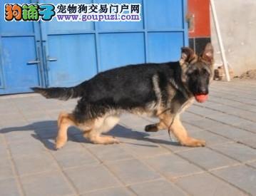 纯种狼狗价格,狼狗性格 2到3个月狼狗