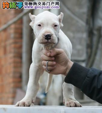 纯种杜高犬 杜高犬价格 杜高犬性格