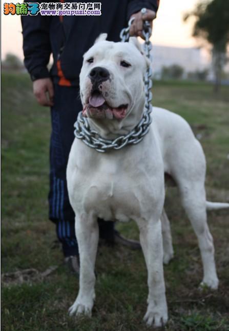 纯种杜高犬 杜高犬饲养条件 杜高犬价格