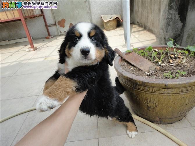 伯恩山幼崽出售中 CKU认证绝对保障 购犬可签协议