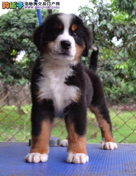 大型专业培育伯恩山幼犬包健康微信咨询看狗