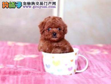 精品高品质茶杯犬幼犬热卖中欢迎实地挑选
