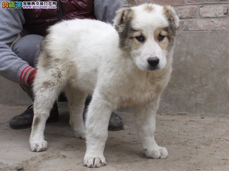 纯种中亚牧羊犬幼崽 金牌店铺假一赔十 全国送货上门