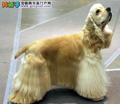 杭州出售可卡幼犬|可卡专售|杭州哪里卖可卡幼犬