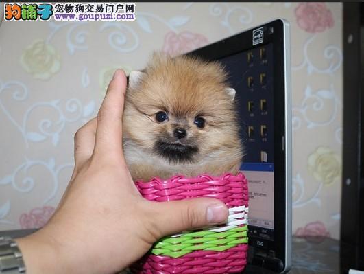 茶杯犬成都CKU认证犬舍自繁自销品质一流三包终身协议