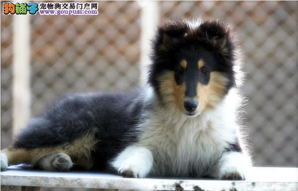 出售纯种三色雕色苏牧幼犬苏格兰牧羊犬