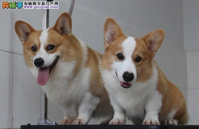 柯基 不以价格惊天下 但以品质惊世人微信咨询看狗狗照片