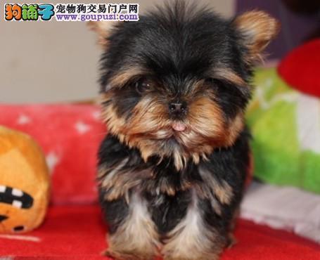 出售多种颜色重庆纯种约克夏幼犬签署质保合同