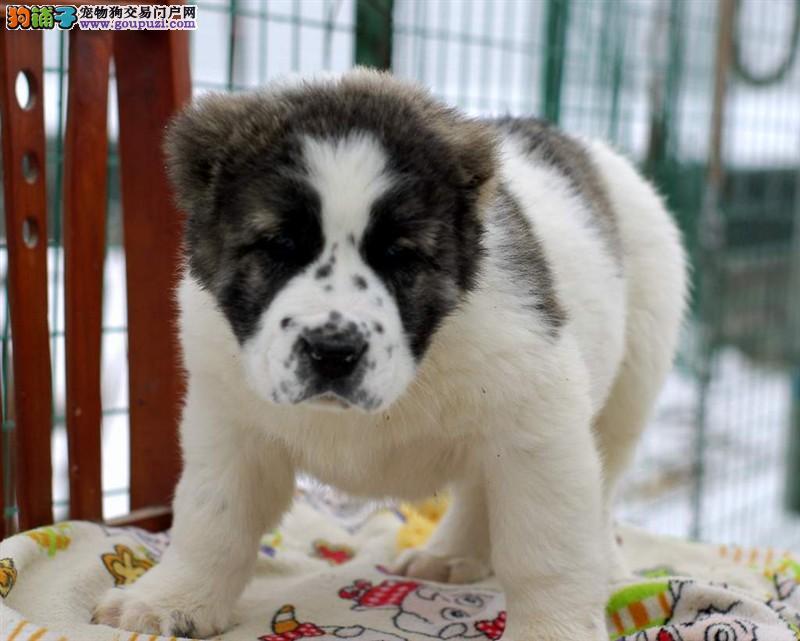 CKU犬舍认证石嘴山出售纯种中亚牧羊犬欢迎您的光临