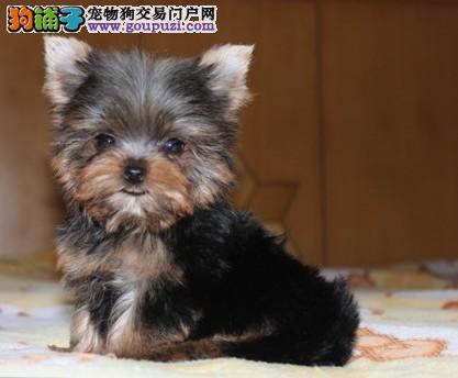 武汉实体店低价促销赛级约克夏幼犬赛级品质血统保障