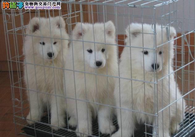 纯种银狐犬 2到三个月幼犬