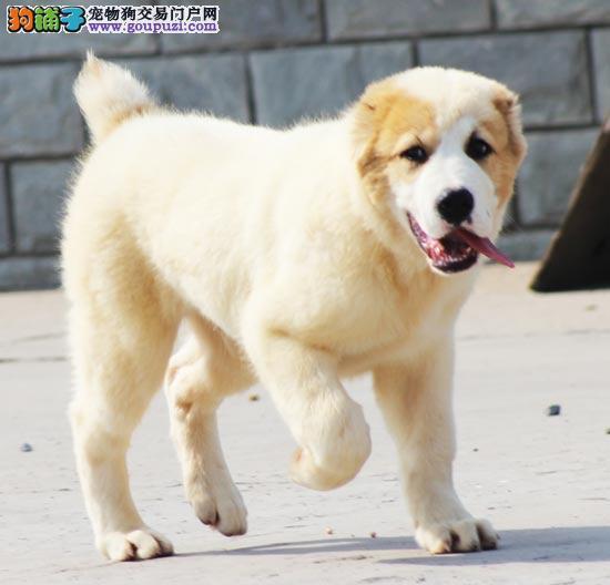 哈尔滨精品高品质中亚牧羊犬幼犬热卖中质量三包多窝可选