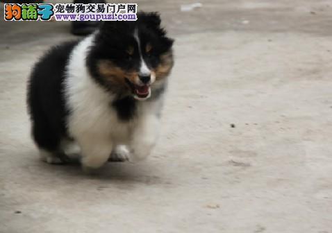 纯种苏木 赛级苏木 苏木幼犬的价格