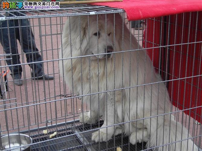 纯种大白熊幼犬价格 大白熊吃什么