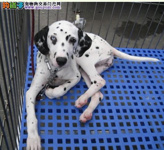 可爱斑点犬 2到3个月斑点狗价格 品质健康保证