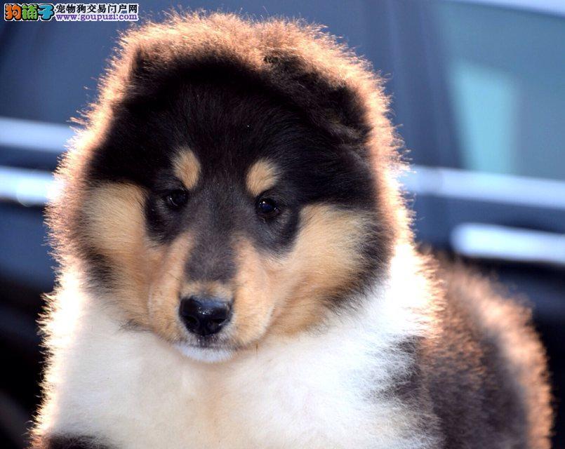 纯种苏木2色 三色 纯种苏格兰牧羊犬