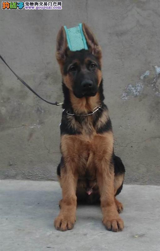 出售北京狼狗健康养殖疫苗齐全国外引进假一赔百