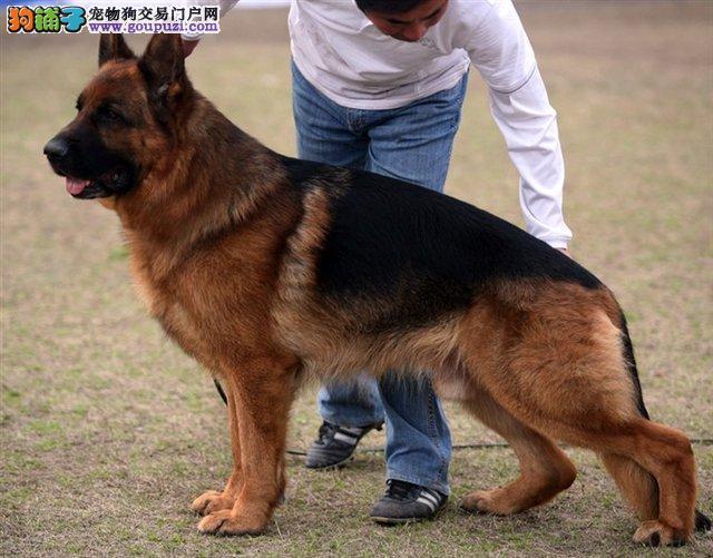 CKU犬舍认证出售高品质狼狗质保协议疫苗驱虫齐全