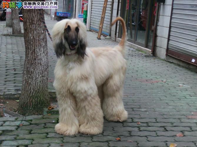 CKU犬舍认证出售纯种阿富汗猎犬可签合同刷卡