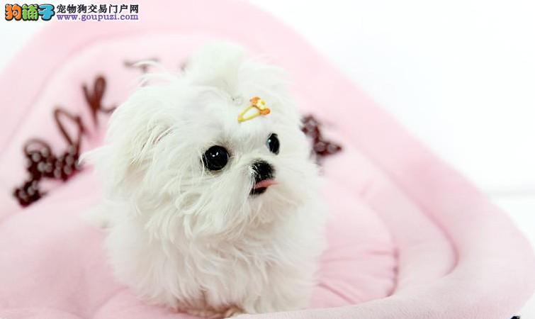 出售纯种家养马尔济斯犬.品相好,活泼可爱,包健康