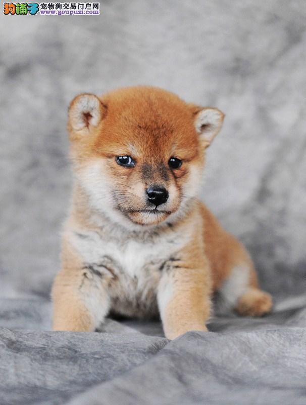 极品柴犬犬幼崽宝宝找新家 公母都有 可刷卡