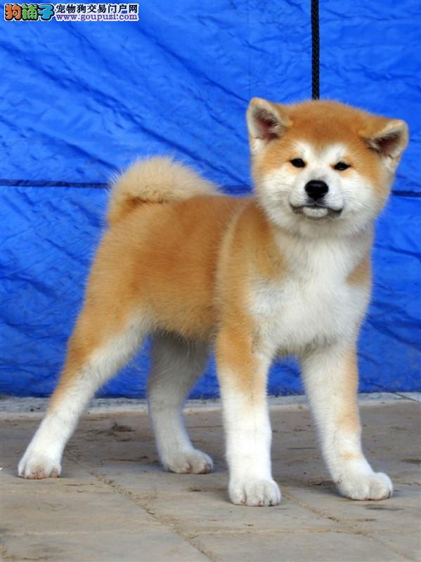 出售纯种秋田幼犬保健康北京最大的秋田犬繁殖基地