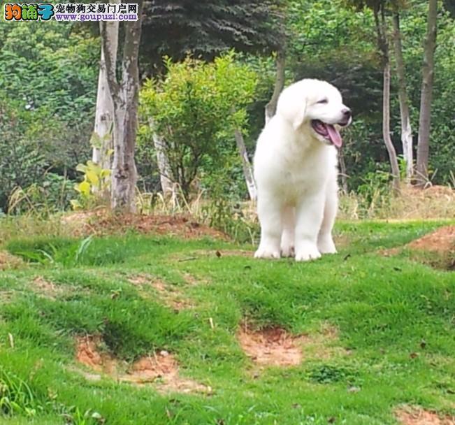高品质大白熊转让 价格美丽品质优良 可签保障协议