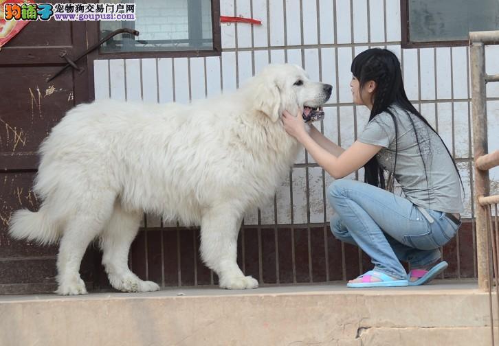 北京人繁殖高品质巨型大白熊 质量三包 完美售后