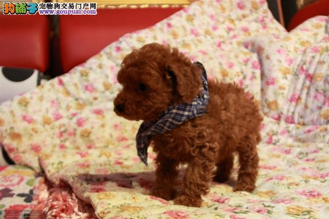 吐鲁番哪里有卖茶杯犬 茶杯犬多少钱一只