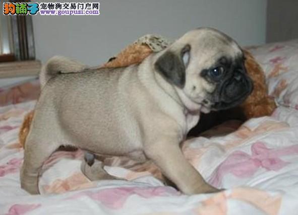 巴哥犬宝宝热销中 国际血统品相好 三年联保协议