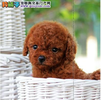 嘉兴家养茶杯长不大的泰迪犬微小体巧克力色泰迪幼犬
