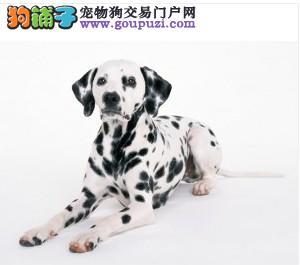 斑点狗幼犬出售中、金牌店铺假一赔十、购买保障售后