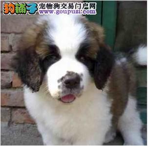 圣伯纳犬 纯种圣伯纳幼犬 大型犬圣伯纳狗崽