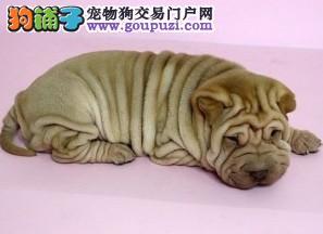 重庆养殖场直销完美品相的沙皮狗期待您的来电咨询
