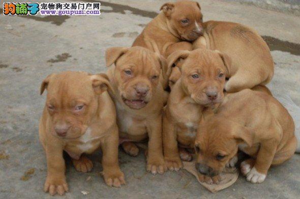 加QQ可优惠出售纯种猛犬比特幼犬