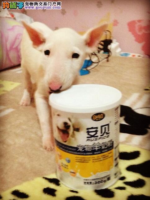 加QQ可优惠专业繁殖牛头梗犬 可见父母 可签协议保健康