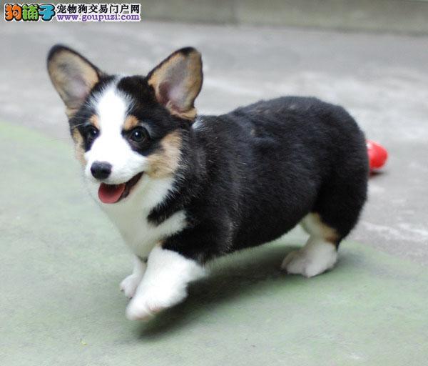富贵之家出售柯基幼犬,喜欢的朋友来看看