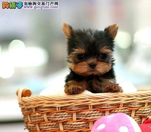 全年ΝΟ⒈一至今最畅销 约克夏幼犬 好品质、有保障