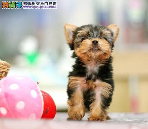 多种颜色的赛级约克夏幼犬寻找主人保终身送用品