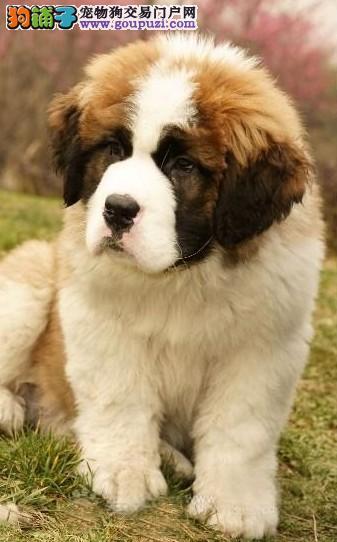出售纯种大型圣伯纳幼犬 包健康 绝对的纯种