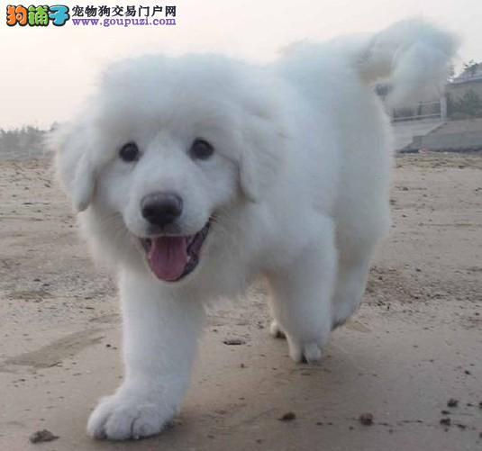 南京大白熊基地 南京哪里有卖纯种大白熊幼崽多少钱