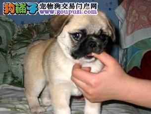 精品巴哥犬 血统优良 疫苗齐全品质保证 上门选购