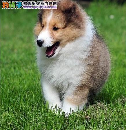 CKU权威注册犬业双冠赛级喜乐蒂宝宝预售中质保齐全