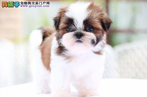 白城自家繁殖西施犬出售公母都有品质保障可全国送货