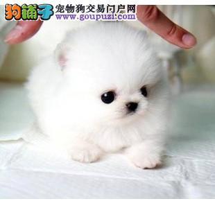 广州茶杯型泰迪熊,广州隆重推出韩系小体纯种泰迪熊犬