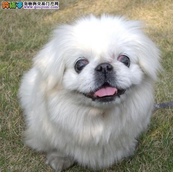 吐鲁番犬舍专业繁殖出售京巴犬诚信经营