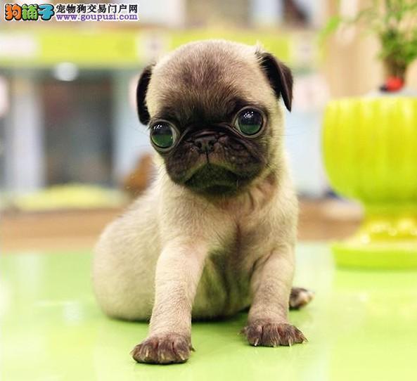 专业养殖纯种巴哥幼犬 可看视频