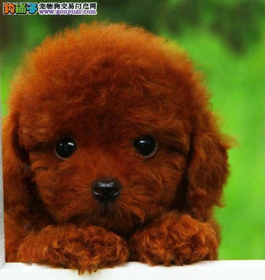 专业正规犬舍热卖优秀的延安泰迪犬国际血统认证